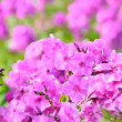 Pink phlox flowers in the garden — Stock Photo