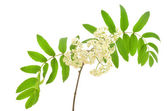 Blossoming Sorbus aucuparia — Stock Photo