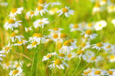 Chamomile flowers on meadow — Stock Photo
