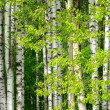 Birch trees in the wood  — Stock Photo