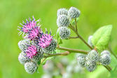 Flowering Great Burdock (Arctium lappa) — Stock Photo