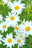 Chamomile flowers in the garden — Stock Photo