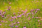 Cornflower (Centaurea jacea) flowers on meadow — Photo