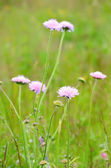 Succisa pratensis flowers on meadow — Stock Photo