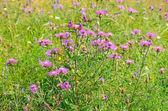 Cornflower (Centaurea jacea) flowers — Stock Photo