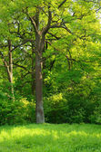 Tree in the spring park — Stock Photo