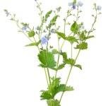Veronica chamaedrys flower — Stock Photo #41239513