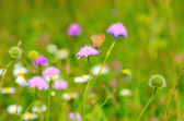 Skipper butterfly on flowers — Stock Photo