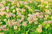 Clover flowers on meadow — Stock Photo