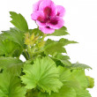 Pink geranium flower — Stock Photo