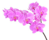 Orchidej phalaenopsis — Stock fotografie