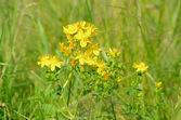 St. John's wort (Hypericum perforatum) flowers — Stock Photo
