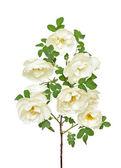 White wild rose branch — Stock Photo