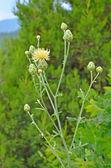 Centaurea orientalis flower  — Stock Photo