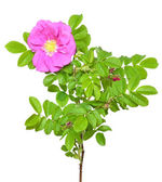 Wild rose flower — Stock Photo