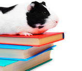 Books and the guinea pig. — Stock Photo