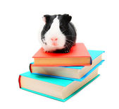 Books and guinea pig. — Stock Photo