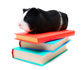 Books and guinea pig. — Stock Photo