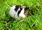 Conejillo de indias en un pasto verde. — Foto de Stock