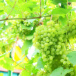 The big clusters of fresh grapes in foliage. — Stock Photo
