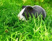 緑の草のモルモット. — ストック写真