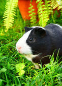 Guinea pig in a green grass. — Stock Photo