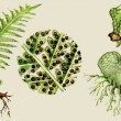 Fern biological cycle illustration — Stock Photo