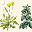 Stock Photo: Dandelion flowers and seeds, nettle
