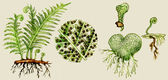 Fern biological cycle illustration — 图库照片
