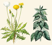 Dandelion flowers and seeds, nettle — Stock Photo
