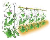 Green pea planting illustration — Stock Vector