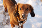 Red Miniature Dachshund on the Snow — Stock Photo