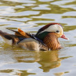 Mandarin duck male(Aix galericulata) — Stock Photo