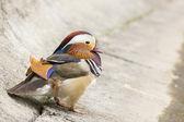 Mandarin duck male — Foto de Stock