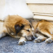 Stock Photo: Sleeping stray dog