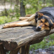 Old stray sleeping dog — Stock Photo