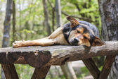 Sad stray sleeping dog — Stock Photo