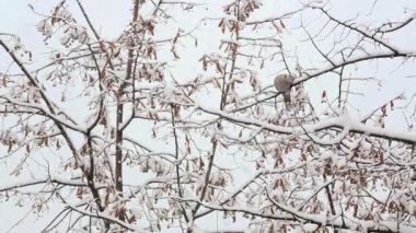 Ring dove sitting on a twig in the falling snow — Stock Video