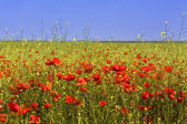 Corn poppy field — Stock Photo