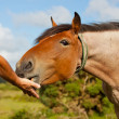 Stock Photo: Feeding horse by hand