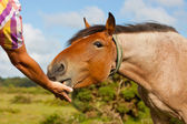 Feeding a horse by hand — Stock Photo