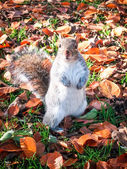 Squirrel in Autumn leaves — Stock Photo