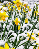 Daffodils in the snow — Stock Photo