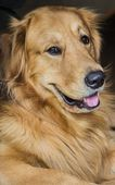Golden Retriever Dog resting on the wooden deck — Stock Photo