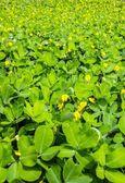 Perennial Peanut Foliage — Stock Photo