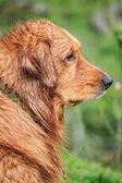 Wet Golden Retriever Dog Looking Front — Stock Photo
