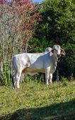 Zebu 牛 — ストック写真