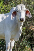 Zebu Cattle — Foto Stock