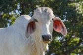 Zebu Cattle — Stock Photo