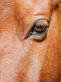 Brown Horse Face — Stock Photo